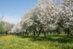 Orchard with blossoming apple trees in spring time. Thurgau, Switzerland.