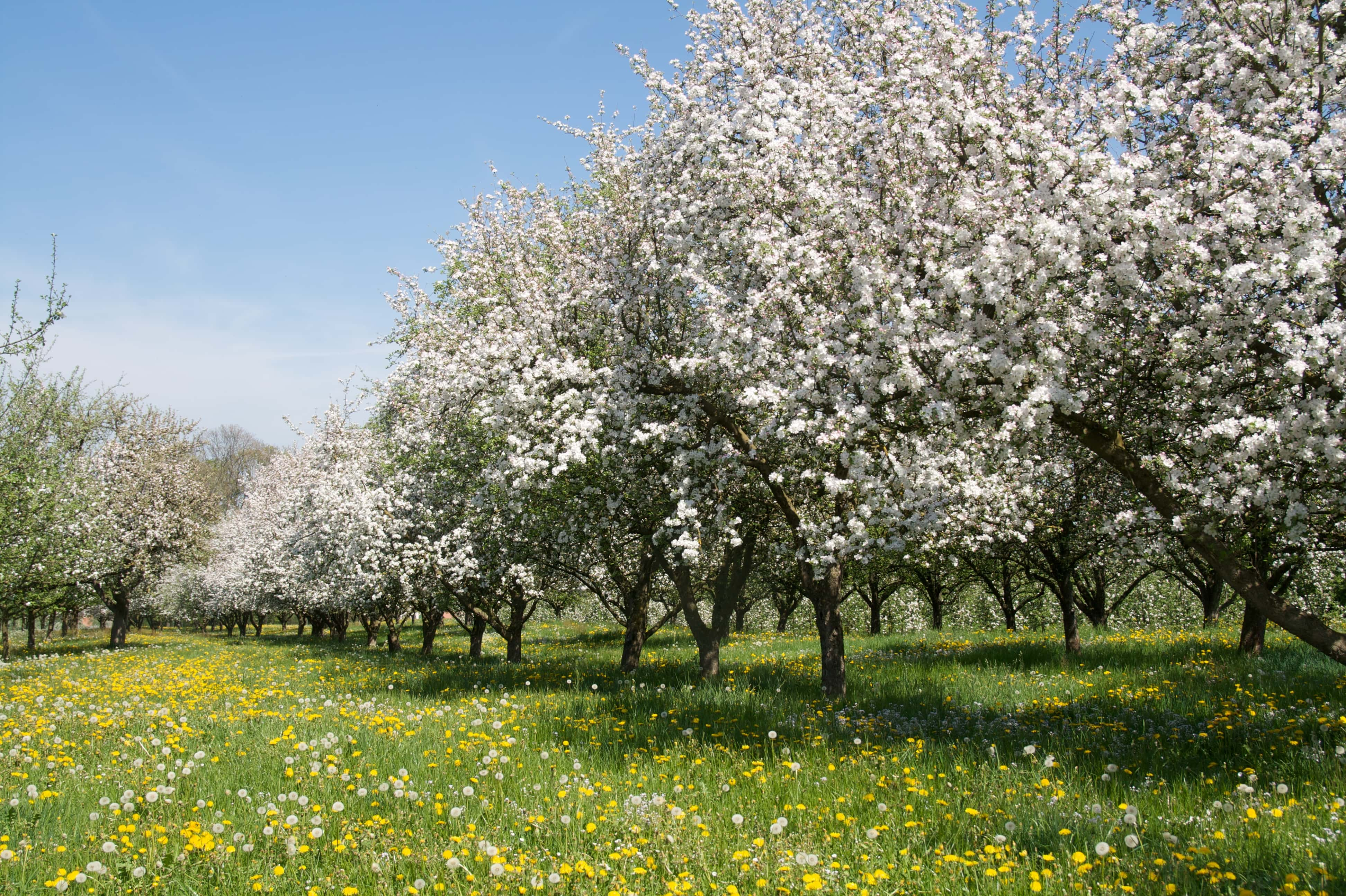 Orchard with blossoming apple trees in spring time. Thurgau, Switzerland. © Karsten Risseeuw